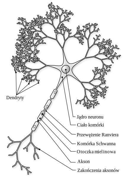 tkanka nerwowa i tkanka glejowa