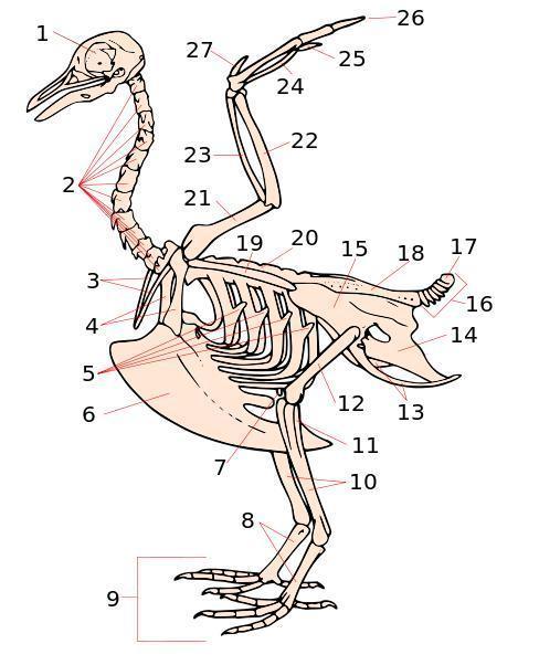 Budowa Ptaka I Szkielet Ptaka Strona 4
